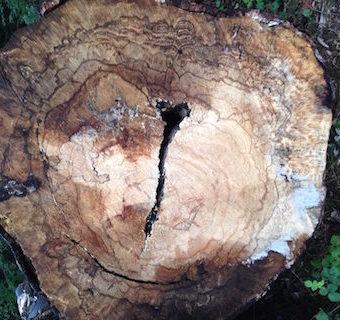 Blog-Jet-Pouw-Leusden-Zuid-en-Amersfoort-Illustratie-Verdriet-Verlies-rouw-rouwen-Doorgesneden-boomstam